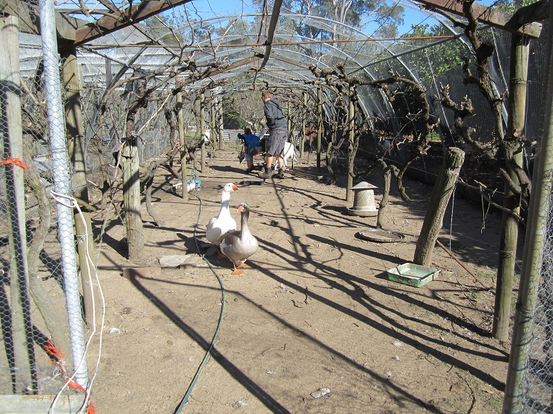 Pruning in grape arbor